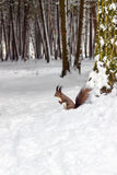 One red squirrel under tree, on white snow in park, winter season. Royalty Free Stock Photo