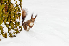 One red squirrel under tree, on white snow in park, winter season. Royalty Free Stock Images