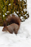 One red squirrel under tree, on white snow in park, winter season. Stock Image