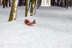 One red squirrel on white snow in park, winter season. One red squirrel on white snow in park, winter season Stock Photography