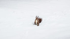 One red squirrel on the white snow in winter season. One red squirrel on the white snow in winter season Royalty Free Stock Images
