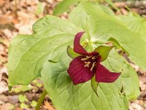 One red trillium wildflower royalty free stock photography