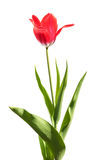 One red tulip Stock Image