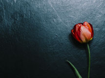 One Red Tulip Royalty Free Stock Photos