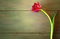 One Red Tulip in Dramatic Lighting on Rustic Wood Background with room or space for copy, text, words. One red tulip with a graceful curved stem and leaf on the stock images