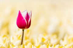 One red tulip in a field with yellow tulips Royalty Free Stock Photos