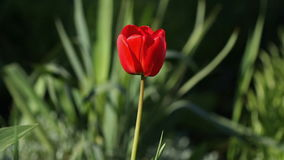 One red tulip flower swaying by of the wind.  stock video footage