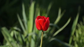 One red tulip flower swaying by of the wind.  stock video