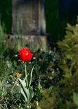 One red tulip among green royalty free stock photo