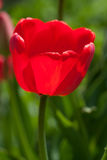 One red tulip grow in the park.  Stock Photos