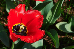 One red tulip. One large-flowered tulips ring spring sunny day Royalty Free Stock Images