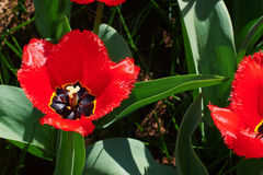 One red tulip. One large-flowered tulips ring spring sunny day Royalty Free Stock Photos