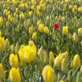 One red tulip between a lot of yellow flowers and buds in dutch Royalty Free Stock Photos