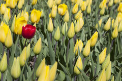 One red tulip between a lot of yellow flowers and buds in dutch Royalty Free Stock Photography