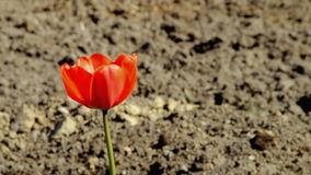 One red tulip nature. One red tulip in the plowed earth stock footage