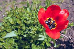 One red tulip in a sunny day stock photography