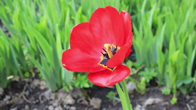 One red tulip stock footage