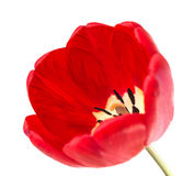 One red tulip Royalty Free Stock Image