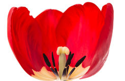 One red tulip stock photography