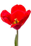 One red tulip on white Stock Image