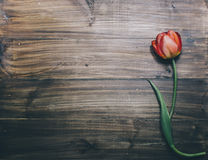 One Red Tulip Royalty Free Stock Photography