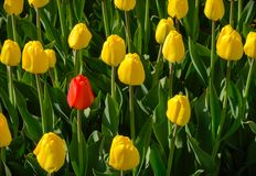 One red Tulip among yellow on a green background royalty free stock photo