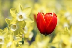 One red tulip in yellow light of narcissus flowers Stock Images