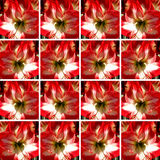 One red and white Amaryllis flower inside square shapes Stock Image