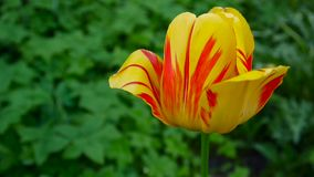 One red and yellow tulip flower swaying by of the wind. Static camera HD footage. Tulipa. One red and yellow tulip flower swaying by of the wind stock video