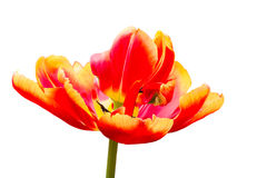 One red yellow tulip flower on white background Royalty Free Stock Images