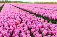 One red-yellow tulip protrudes above the many pink flowering tulip flowers in a large field at a specialized Dutch bulb nursery. One red-yellow tulip stands out royalty free stock images