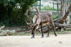One reindeer with big horns walks in the zoo Royalty Free Stock Photos