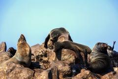 Resting brown fur seal, Arctocephalus pusillus, Cape cross, Namibia. One Resting brown fur seal, Arctocephalus pusillus, Cape cross, Namibia royalty free stock images