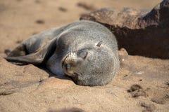 Resting brown fur seal, Arctocephalus pusillus, Cape cross, Namibia. One Resting brown fur seal, Arctocephalus pusillus, Cape cross, Namibia stock photography