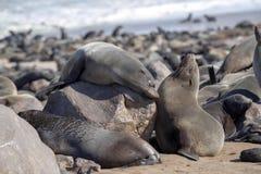 Resting brown fur seal, Arctocephalus pusillus, Cape cross, Namibia. One Resting brown fur seal, Arctocephalus pusillus, Cape cross, Namibia royalty free stock image