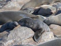 Resting brown fur seal, Arctocephalus pusillus, Cape cross, Namibia. One Resting brown fur seal, Arctocephalus pusillus, Cape cross, Namibia stock photo