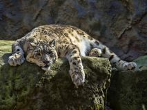 Resting Snow Leopard, Uncia uncia. One Resting Snow Leopard, Uncia uncia Royalty Free Stock Photos