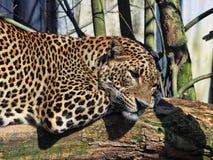 Resting Sri Lanka Leopard, Panthera pardus kotiya. One Resting Sri Lanka Leopard, Panthera pardus kotiya Stock Photos