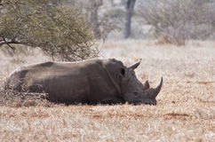 One rhino lying under a thorn bush Royalty Free Stock Photo