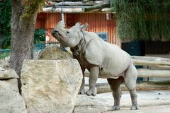 One rhino in the zoo climbs on the rocks Royalty Free Stock Photo