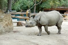 One rhinoceros in the zoo runs to the brush.  Stock Photography