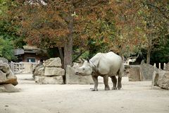 One rhinoceros in the zoo walks under a tree in autumn.  Stock Photography