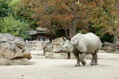 One rhinoceros in the zoo walks under a tree in autumn. One rhinoceros in the zoo walks under a tree in autumn Royalty Free Stock Photography