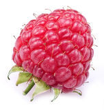 One rich raspberry. Stock Photos