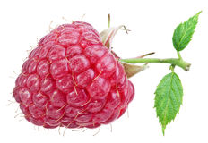 One rich raspberry fruit isolated on a white. Royalty Free Stock Image