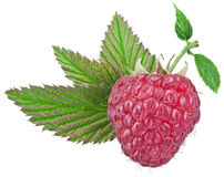 One rich raspberry fruit with leaves isolated on a white. Stock Photo