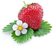 One rich strawberry fruit with flower. One rich strawberry fruit with flower isolated on a white background royalty free stock image