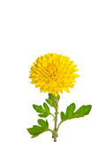 One rich yellow chrysanthemum Royalty Free Stock Photography