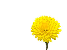 One rich yellow chrysanthemum Royalty Free Stock Image