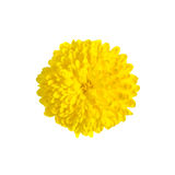 One rich yellow chrysanthemum Stock Image